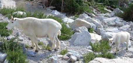 goat1a